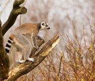 lémures Anillo-atados (catta del lémur) en un árbol Foto de archivo libre de regalías