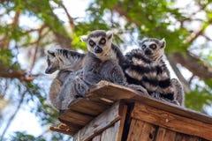 lémures Anillo-atados en el parque zoológico de Tbilisi, el mundo de animales Fotos de archivo libres de regalías