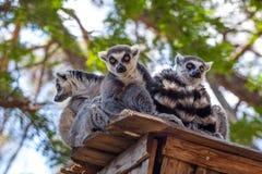 lémures Anillo-atados en el parque zoológico de Tbilisi, el mundo de animales Imágenes de archivo libres de regalías