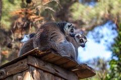 lémures Anillo-atados en el parque zoológico de Tbilisi, el mundo de animales Imagen de archivo libre de regalías