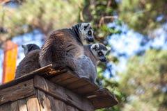 lémures Anillo-atados en el parque zoológico de Tbilisi, el mundo de animales Foto de archivo