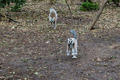 lémures Anillo-atados en Suráfrica Imagenes de archivo