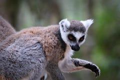 lémures Anillo-atados en Suráfrica Foto de archivo