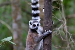 lémures Anillo-atados en Suráfrica Imágenes de archivo libres de regalías