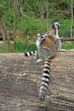 lémures Anillo-atados en un parque zoológico Imagen de archivo libre de regalías