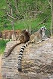 lémures Anillo-atados en un parque zoológico Fotografía de archivo libre de regalías