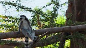 lémures Anillo-atados que se sientan en árbol y que miran alrededor