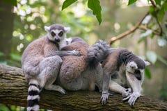 lémures Anillo-atados que se sientan en la rama de árbol Foto de archivo
