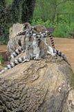 lémures Anillo-atados que se sientan en un árbol en un parque zoológico Fotos de archivo