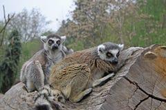 lémures Anillo-atados que se sientan en un árbol en un parque zoológico Foto de archivo