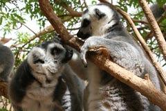 Lémures atados anillo Foto de archivo