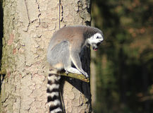 Lémures atados anillo en árbol Foto de archivo