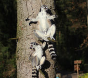 Lémures atados anillo en árbol Imagen de archivo libre de regalías
