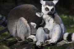 Lémures de abrazo de Maki, monos del primate Foto de archivo libre de regalías
