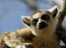 Lémures de Madagascar Imágenes de archivo libres de regalías