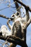 Lémures de Madagascar Imagen de archivo libre de regalías