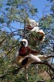 Lémures del sifaka de Coquerel Imagen de archivo libre de regalías