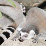 Lémures el dormir en el bosque Foto de archivo