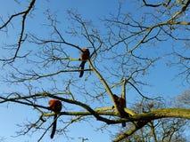 Lémures en árbol Fotografía de archivo libre de regalías