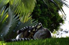 Lémures en el bio parque de Valencia, España Foto de archivo
