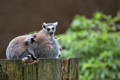 Lémures en el bosque Imagen de archivo libre de regalías
