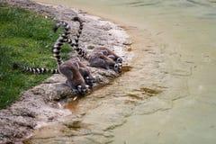 Lémures en el riego Imagenes de archivo