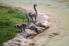 Lémures en el riego Imagen de archivo libre de regalías