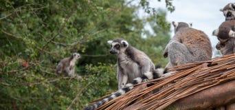 Lémures en el tejado Imágenes de archivo libres de regalías