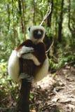 Lémures en Madagascar Imagen de archivo