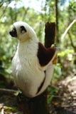 Lémures en Madagascar Fotografía de archivo