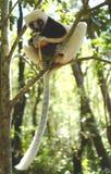 Lémures en Madagascar Imagenes de archivo