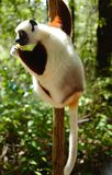 Lémures en Madagascar Fotos de archivo libres de regalías