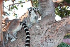 Lémures en un árbol Fotografía de archivo