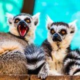 Lémures hambrientos y enojados Imágenes de archivo libres de regalías