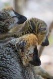 lémures Rojo-afrontados de Brown que amontonan junto Imagenes de archivo
