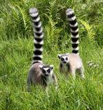lémurs Anneau-coupés la queue Photographie stock
