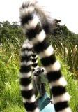 lémurs Anneau-coupés la queue Image libre de droits