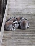 lémurs Anneau-coupés la queue (catta de lémur) Photo stock
