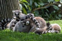 lémurs Anneau-coupés la queue (catta de lémur) Photos stock