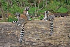 lémurs Anneau-coupés la queue dans un zoo Images libres de droits