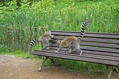 lémurs Anneau-coupés la queue dans un zoo Photos stock