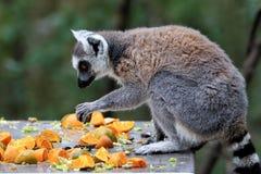 lémurs Anneau-coupés la queue en Afrique du Sud Photo stock