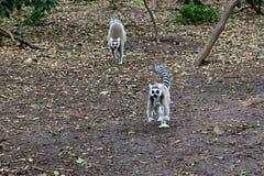 lémurs Anneau-coupés la queue en Afrique du Sud Images stock