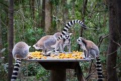 lémurs Anneau-coupés la queue en Afrique du Sud Photo libre de droits