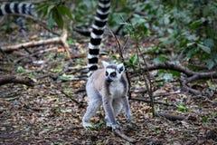 lémurs Anneau-coupés la queue en Afrique du Sud Photos libres de droits
