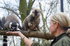 lémurs Anneau-coupés la queue et rouges Images libres de droits