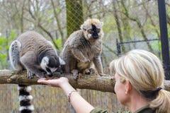 lémurs Anneau-coupés la queue et rouges Image libre de droits
