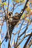 Lémurs anneau-coupés la queue par arbre Photographie stock