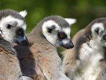 Lémurs anneau-coupés la queue par portrait Photos stock