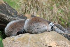 lémurs Anneau-coupés la queue se reposant sur des roches Images libres de droits
